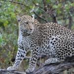 momboleopard05