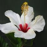 bermudaflower01