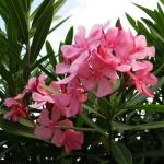 bermudaflower02