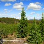 bchvforesttrees05