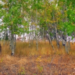 bchvforesttrees11