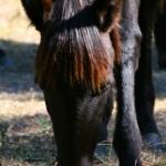 cumberlandhorse02